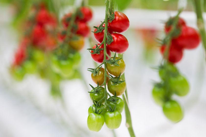 Vasaros sezono karaliai – pomidorai: ekspertai pataria, kaip ilgiau išsaugoti šios daržovės šviežumą ir skonį